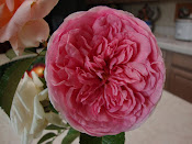 Abraham Darby Rose ~ Delicious!