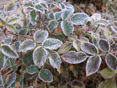 Frosted Miniature Rose