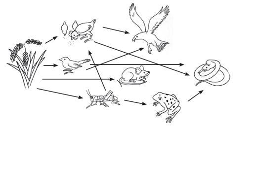 jaring jaring makanan berikut ini contoh jaring jaring makanan