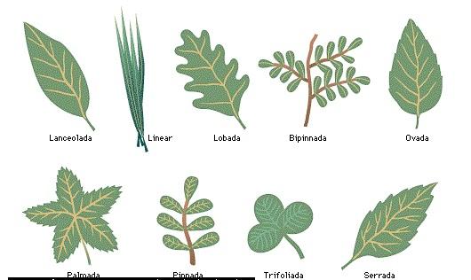 El universo de las plantas la hoja for Hojas ornamentales con sus nombres