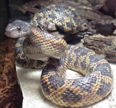 non venomous Texas snakes