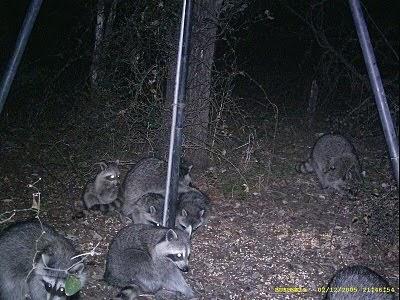 how to keep raccoons off my deer feeders