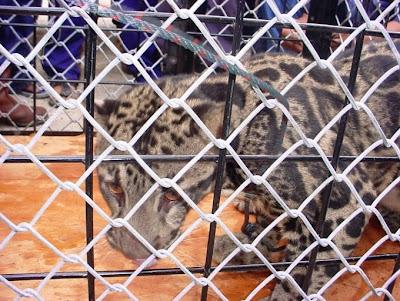 Foto Riau - Cat Family from Riau