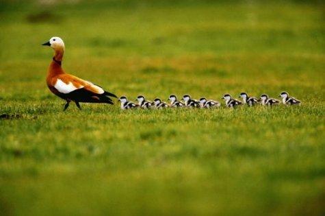 Amor de madre Animales-cachorros-pato-madre-hijos