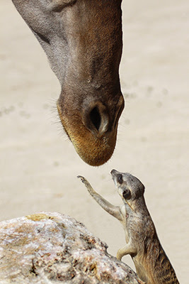 wild animal photo of a meerkat gently touching a giraffes face. This photo has been publish on English newspapers and online magazines | wildlife picture