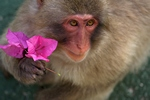 wildlifePhoto and AnimalPictures | Monkey of Japan