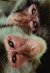 Animais Fotos - Monkey of Japan - Closeup of two faces looking directly to the camera