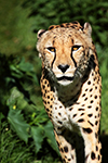 Animais Fotos - Cheetah almost attacks wildlife photographer - Fotografia de animais selvagens