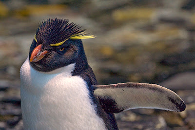 Western Rockhopper Penguin - wildlife photo | Animal Picture -3554