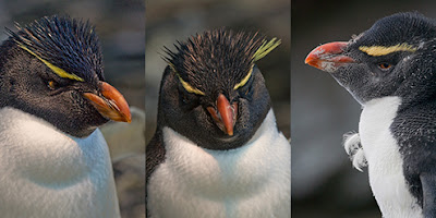 Western Rockhopper Penguin - wildlife photo | Animal Picture -panel2