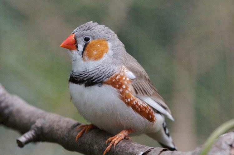 Orange finch birds - photo#24