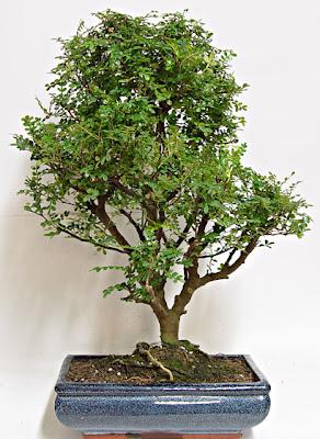 Scarpetta bonsai for Bonsai pepe