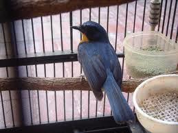 Jual Beli Burung: Jual Sulingan atau Tledekan