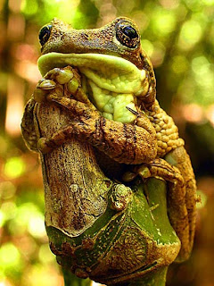 Milky Treefrog perching on a branch