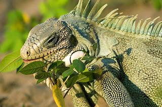 iguana comendo folhas em um campo no Pantanal