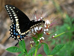 Papilio Polyxenes