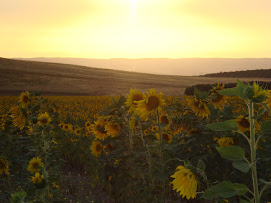 Sun Flowers at Sunset in Morocco