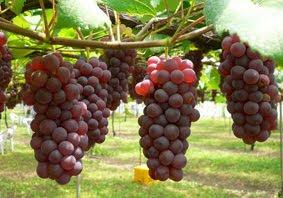Budidaya Anggur tanpa biji
