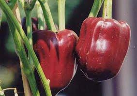 Budidaya Paprika Merah