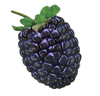 Blackberry fruit clipart