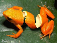 rana naranja