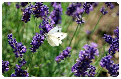 Kålfjäril, Pieris brassicae