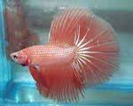 Gallery Ikan Cupang hias dan adu