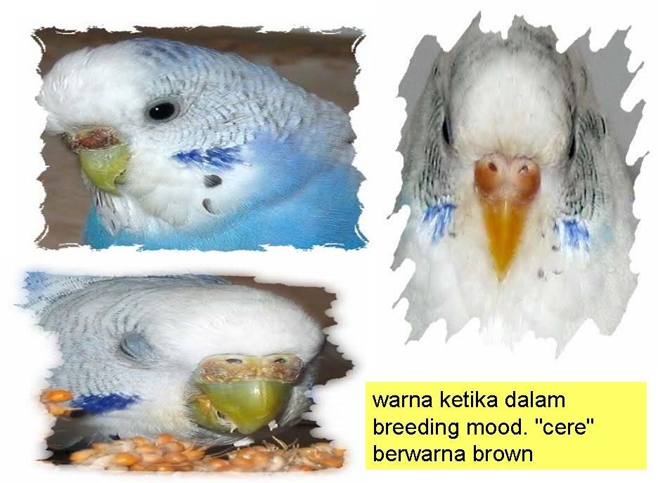 7 Burung Baji