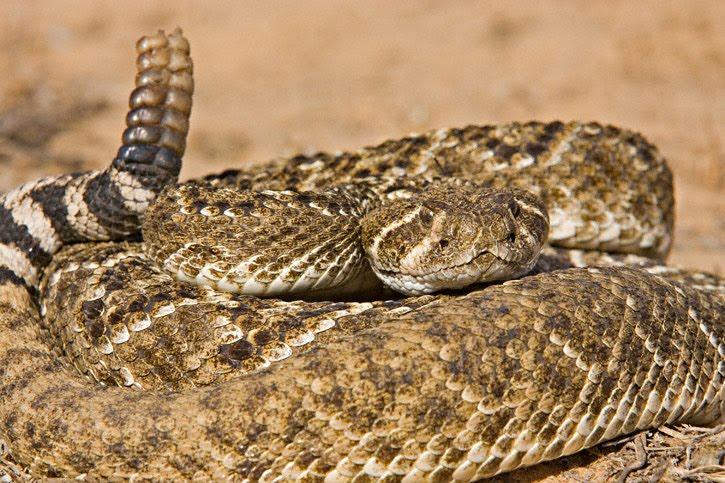 Western diamondback rattlesnake venom - photo#27