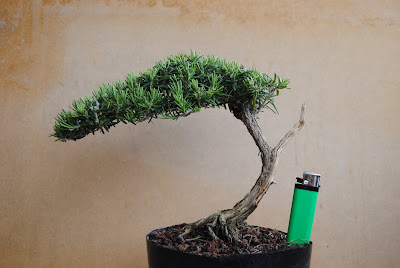 Alisios bons i es caro hacer bons i for Bonsai costo