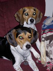 Dodger & Dandy, our beagles