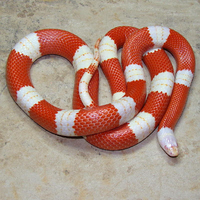 Snakes and More Snakes: Photo of Albino Sinaloan Milk S