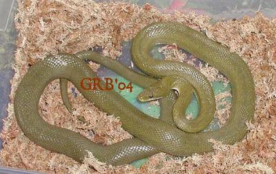 Snakes and More Snakes: Photos of Western Green Rat Sna