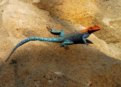 African Red Headed Agama