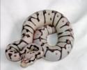 Foto foto ular piton ball