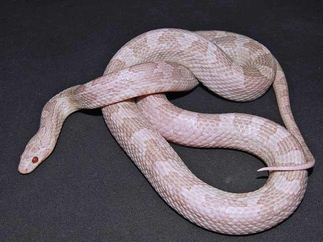 Lavender Corn Snake Lavender corn snake