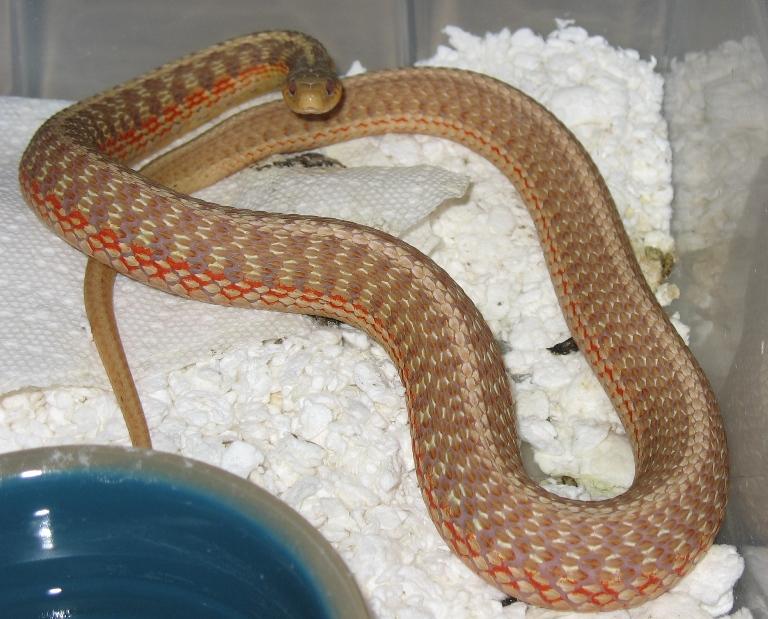 Photo From Garter Snake Morph