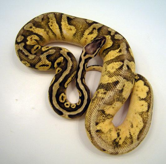 Calico Super Pastel Ball Python - 43.0KB