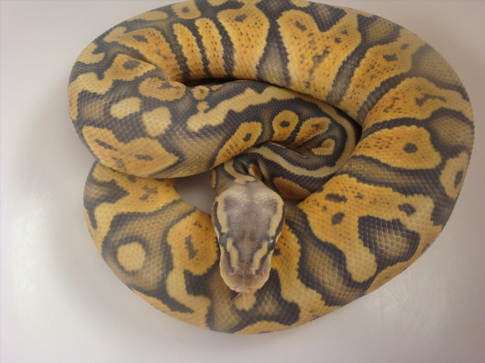 Orange Ghost Ball Python