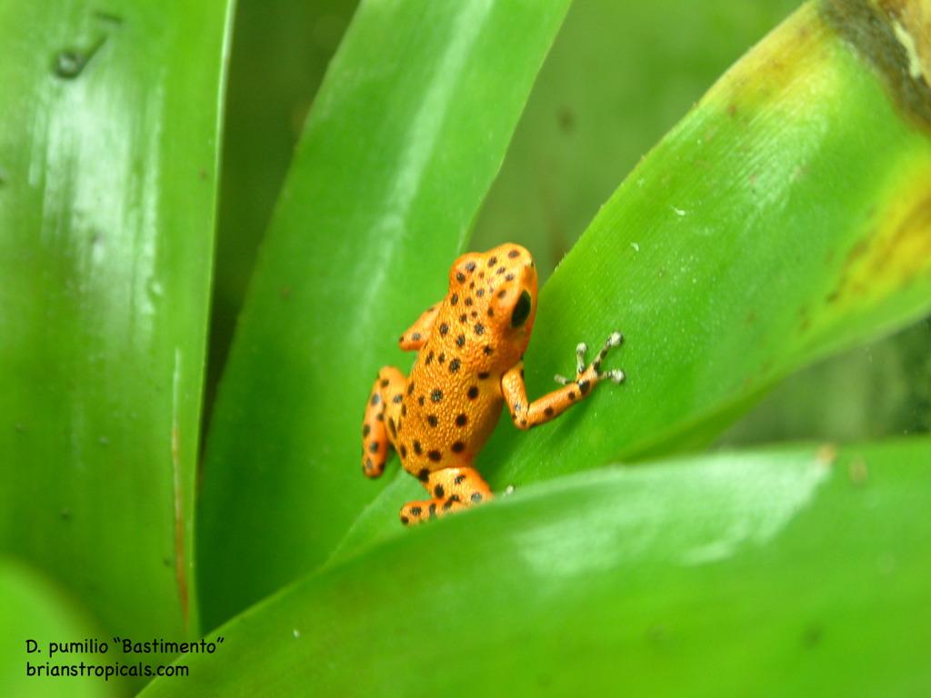Froglet (bastimento froglet)