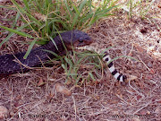 Photo of Texas Indigo Snake, Drymarchon corais erebennus (eating rattlesnake .