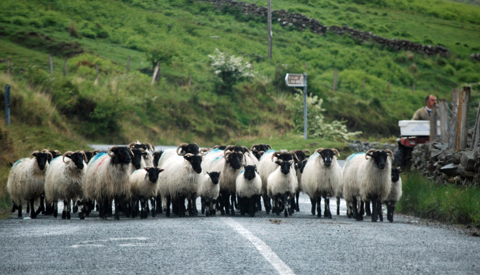 herding sheep, ireland