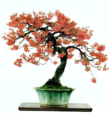 Florablog ciliegio bonsai for Bonsai ciliegio