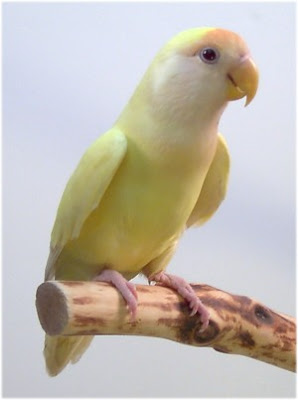Moje ptice CreminoLovebird_w