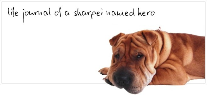 Hero the Sharpei