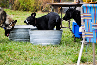 Celia, a black lab with all four feet inside the big metal tub, she's flinging her head around and can see water slash slobber coming out of her mouth - gross lol