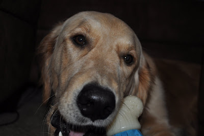 This is a close up picture of Sammy chewing on a Nylabone, he's too cute.