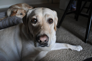 Egypt is about a foot in front of Lola, who is on the dog bed, she also has the gray outside light coming in on her. The angle of the camera makes Egypt look kind of funny but really cute, her nose and head are pointing down and her eyes are looking up at the camera making her have all white around really big brown eyes. Her eyes almost look like those cartoons where the animal's eyes get all big and cute