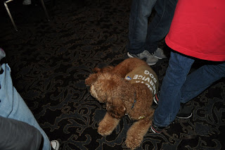 Picture of Dakota, a red very fluffy labradoodle, he has his Diabetic Dog jacket on, he is laying down at Ben's feet facing away from me