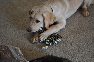 Bob in a semi play boy chewing on his tug toy. It's green and tan and brown - boy colors lol
